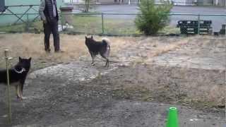 北海道犬協会三重支部展覧会前日の犬たちの様子です.