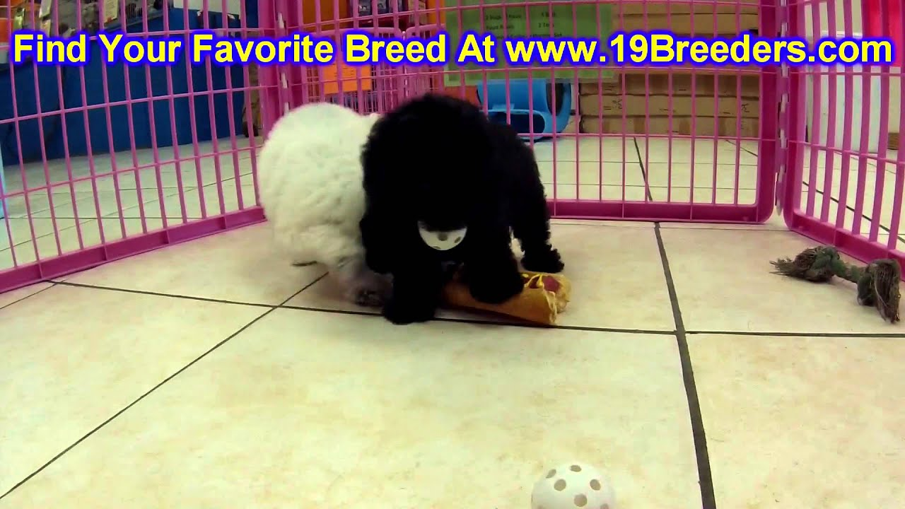 Toy Poodle Puppies For Sale In Portland Oregon Or