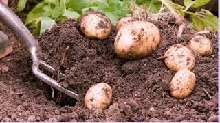 Такого урожая картофеля еще не выращивали. Большой урожай картофеля можно и на маленькой площади