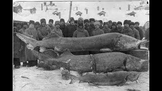 Самая крупная пойманная рыба белуга