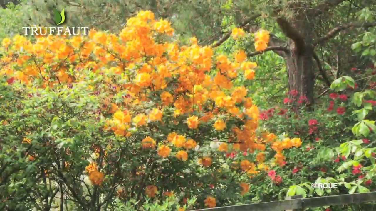 Les plantes acidophiles cr er un massif jardinerie for Plantes jardinerie