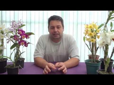Como Cultivar Orquídea Dendrobium Nobile - www.orquidario4e.com.br