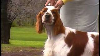 Welsh Springer Spaniel - Akc Dog Breed Series
