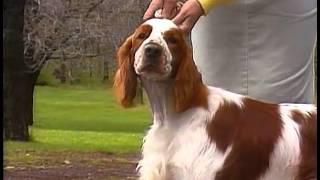 Welsh Springer Spaniel  AKC Dog Breed Series