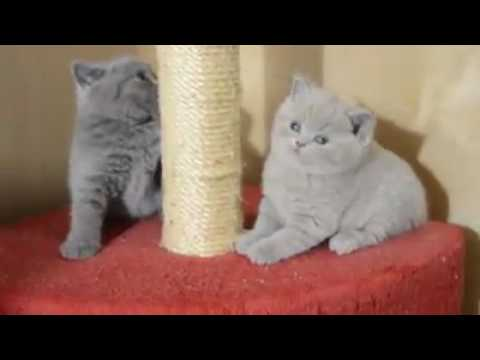 Cat Stage | so sweet british shorthair kittens