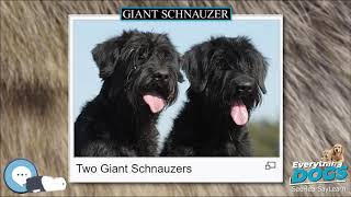 Giant Schnauzer  Everything Dog Breeds