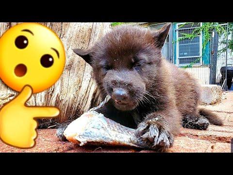 Puppies Eating RAW Fish - 5 Week Lycan Shepherds & Yorkie