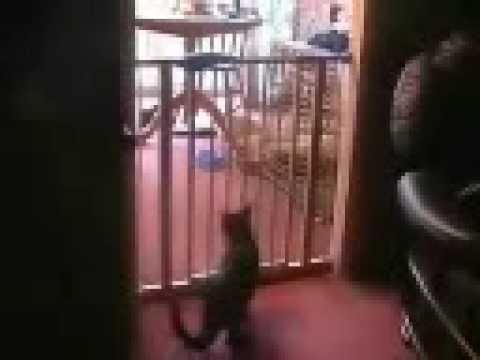 Best Cat Jump Ever JUMPS OVER BABY GATE