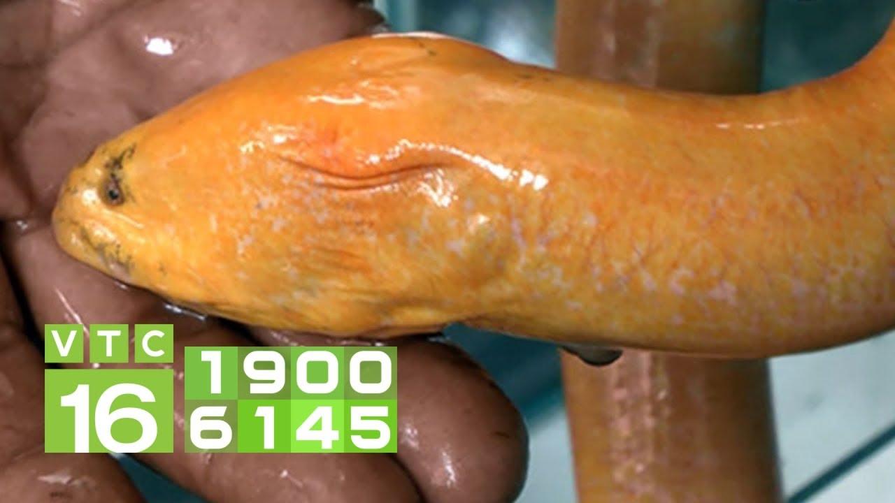 Lưu ý khi nuôi lươn trong bể lót bạt ở miền Bắc I VTC16