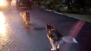 Siberian Husky Playing With German Shepard (some Cool Lighting Too!)