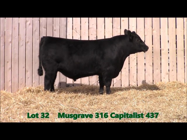 Musgrave Angus Lot 32