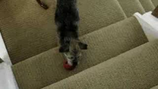 Border Terrier Uses Stairs As Tool To Dislodge Kong Treats