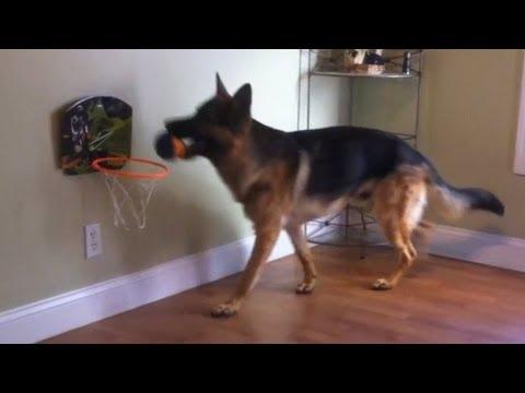 German Shepherd puppy dunks a basketball. Dunder