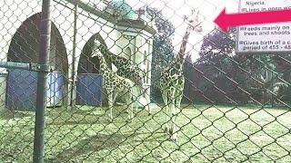 Growing Up Giraffe-Baby Giraffe Fall Zoo Animals are Way Funnier Alipur Zoo