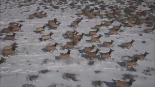 Elk Herd Thriving After Being Driven From Habitat Destroyed By Cameron Peak Fire