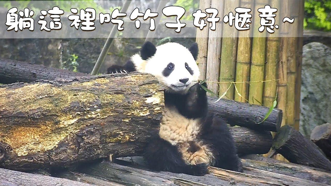 《熊貓早晚安》躺這裡吃竹子好愜意~ | iPanda熊貓頻道 - YouTube