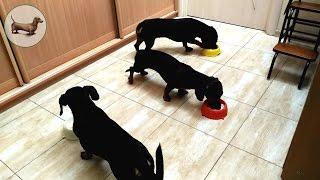 🍖 Такса ➠ Таксы как содержать (чем кормить)? Как кормить собак в группе? Поведение таксы :))