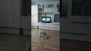 Собака смотрит фильм «Путь домой»