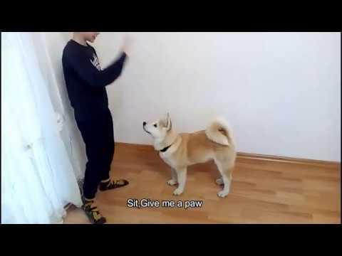 AKITA INU Smart Puppy Su