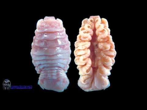 Cymothoa Exigua, Aka The Tongue-eating Louse