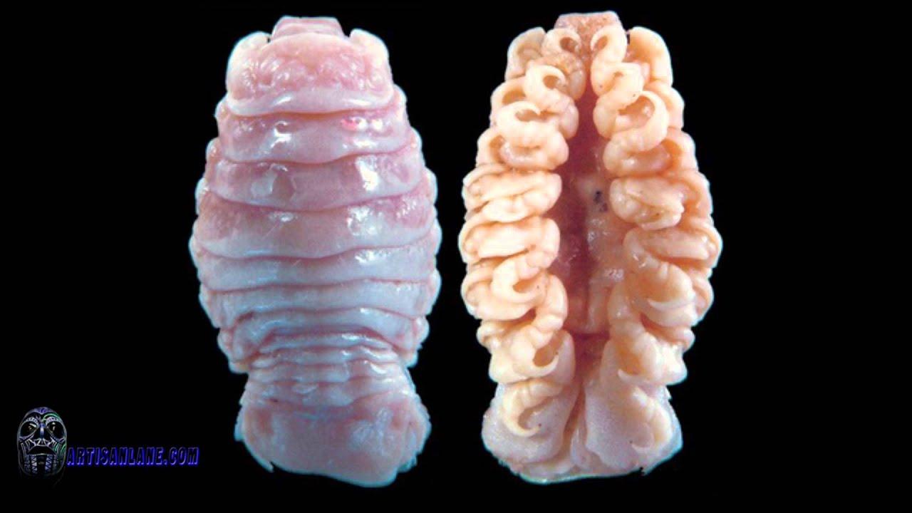 cymothoa exigua nyelv étkezési paraziták)