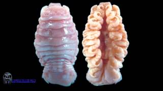 Cymothoa Exigua, aka the tongue-eating louse