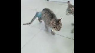 В Екатеринбурге выхаживают кота без лапы, которого нашел на трассе дальнобойщик