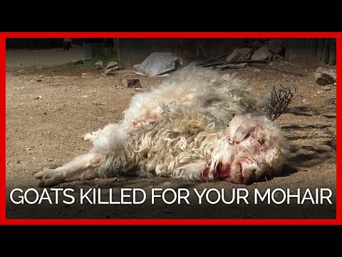 Goats Thrown, Cut, Killed for Mohair—Help Them Now!