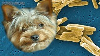 Туберкулез у собак | Причины | Симптомы | Лечение.
