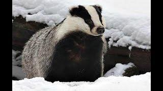 Как охотиться на деликатесного барсука зимой? Секреты охоты на барсука!