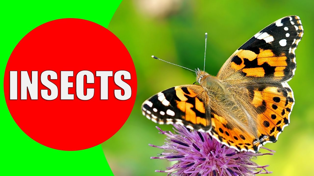 Download INSECTS FOR KIDS Learning – Insect Names and Sounds for Children, Toddlers, Kindergarten & Preschool