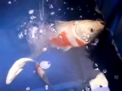 Ikan Koi Kesayangnku Mau Mati Youtube