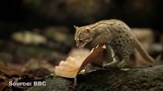 BBC STUMBLES UPON THE WORLD'S SMALLEST WILD CAT | HAPPENING MEOW