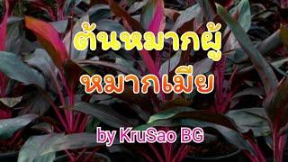 หมากผู้หมากเมีย by KruSao BG