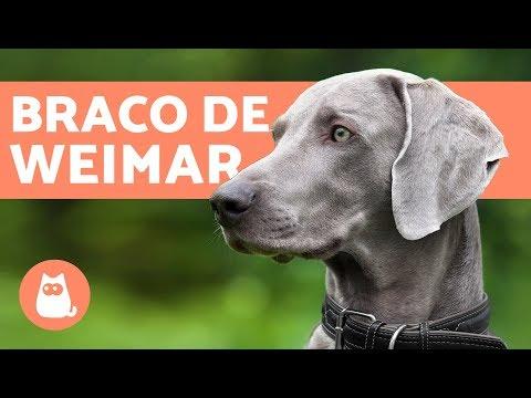 El perro weimaraner o braco de Weimar