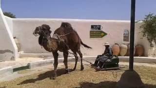 эксплуатация верблюда