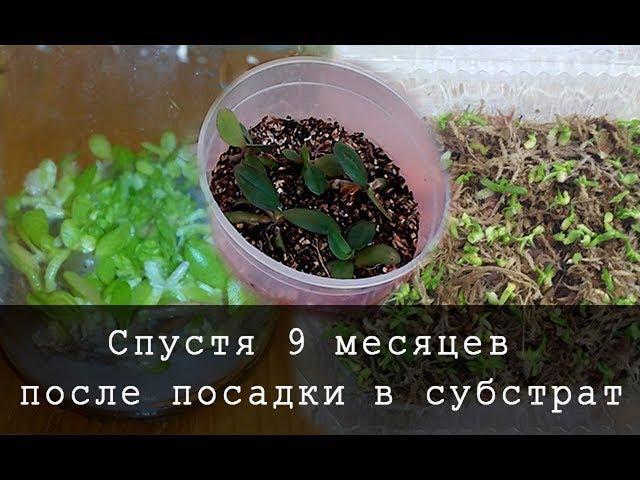 Семена Орхидей после высадки видео № 3 Прошло 9 месяца после скрытия банок:)))