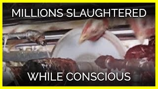 Millions of Chickens Slaughtered While Conscious