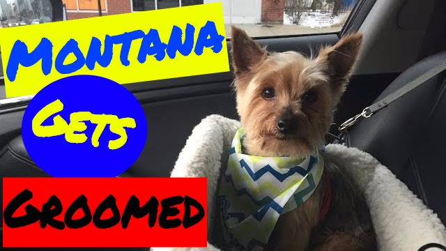 Montana The Yorkie Dog Goes To Petsmart To Get A Groomed Youtube