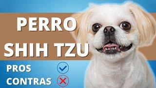 PERRO SHIH TZU Ventajas y Desventajas ❤ Pros Y Contras De Tener Un Shih Tzu ❤ PERROS HERMOSOS