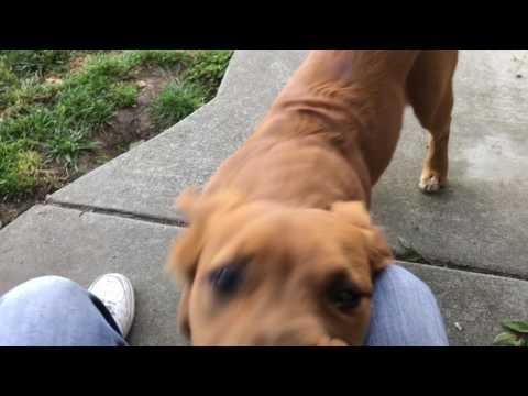 Pit bull Golden retriever mix puppy