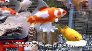 Repeat youtube video 【水作エイト】と元気な金魚たち