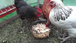 видео Можно ли кормить кур несушек хлебом