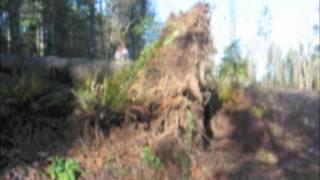 Standup stump, bucking a blowdown