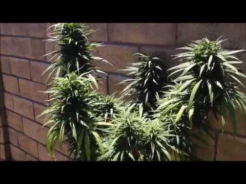 Lemon OG and Blue Dream outdoor grow. ANONYMOUS GROWER Medical Marijuana.