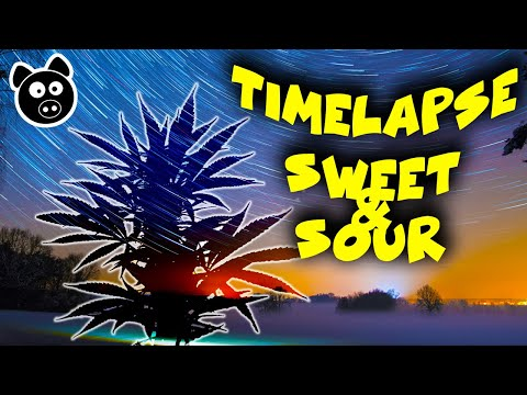 TIMELAPSE – Sweet & Sour Autoflower (Mephesto G) Full Cannabis Growth – Seed To Harvest