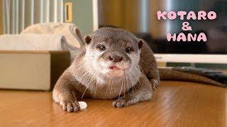 カワウソコタローとハナ 女の子特有のハナの可愛らしい行動 Otter Kotaro&Hana She Has a Charming Personality