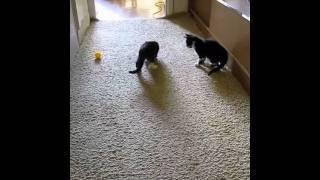 котята играют мячиком, возраст - 2 месяца