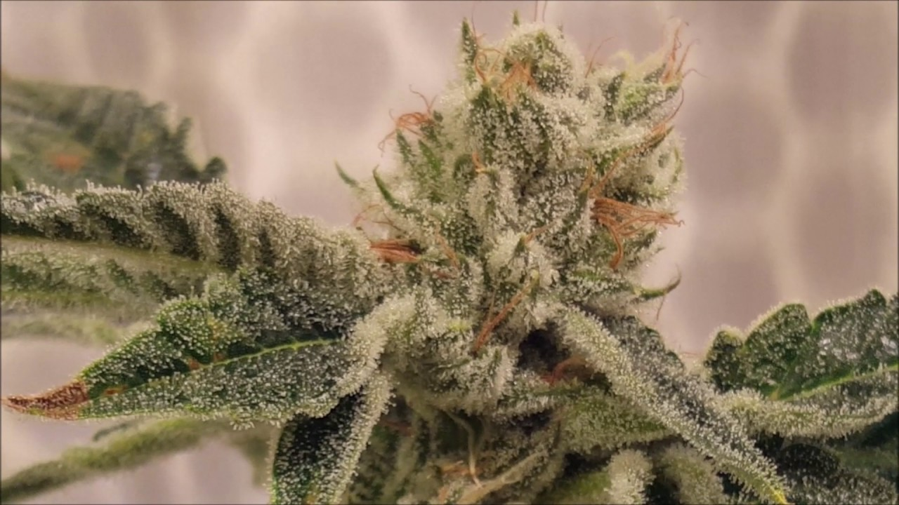 Granola Funk # 2 from Bodhi Seeds