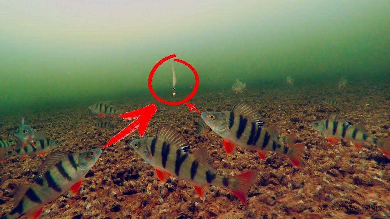 Окунь на мормышку подводная съемка